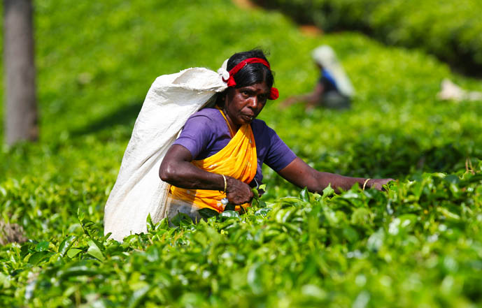tea_picker