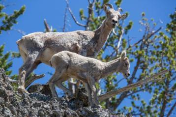 yellowstone-animals